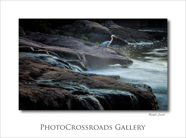 Blue Heron at Burleigh Falls Ontario